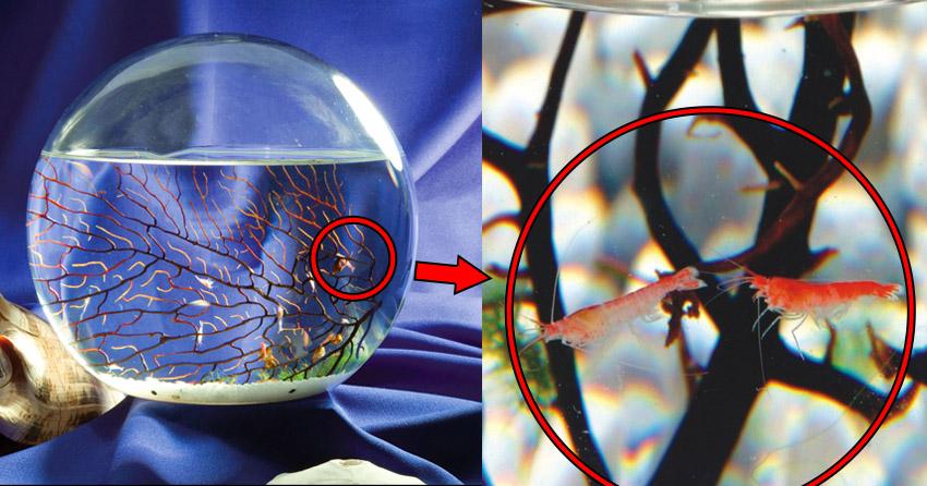 ecosfera mini acquario gamberetti